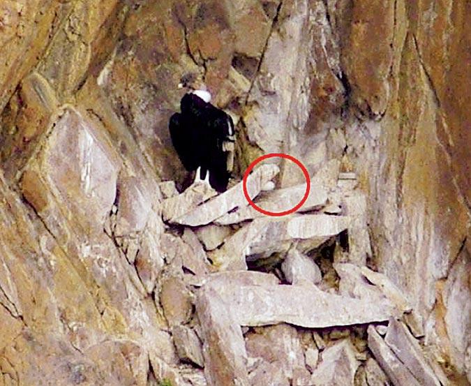 El nido está en una reserva patagónica. Lo hallaron porque las aves